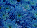 Dvojitou transgenózí k modrým chryzantémám
