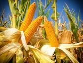 EFSA dává zelenou kombinované GM kukuřici