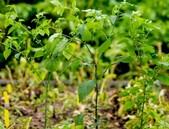 Nový gen rezistence proti plísni bramborové