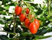 První geneticky editovaná rajčata na trhu