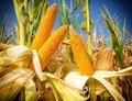 Další GM plodiny míří do EU