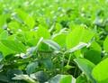 """Molekulární """"poplašný"""" systém, který chrání rostliny před predátory"""