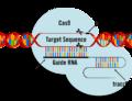 CRISPR/Cas9 – oblíbená metoda šlechtitelů