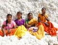 GMO a sociální otázky v Indii
