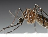 Terénní zkoušky geneticky modifikovaných komárů
