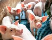 V USA schválena geneticky upravená prasata