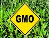 Jaké GM plodiny lze dovézt do EU? Aktuální přehled