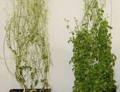 Vědci objevili gen dlouhověkosti u rostlin