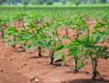 GM maniok s dvěma benefity - vyšším obsahem minerálů a odolností vůči virům