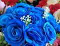 Modré růže již brzy na našich zahradách