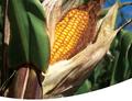 Pozor na pěstování Bt kukuřice u státních hranic