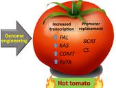Dočkáme se pikantních rajčat na našich stolech?
