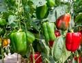 Použití metody CRISPR u paprik