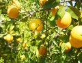 Pomerančovníky odolné vůči virovým chorobám