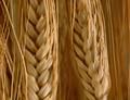 Pšenice s vysokým obsahem vlákniny na trhu už v roce 2020