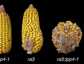 Výnos kukuřice ovlivněný neočekávaným genovým účinkem