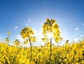 Snížení náchylnosti řepky olejné k verticiliovému vadnutí
