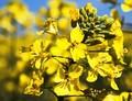 Bude Evropa dovážet australská GM biopaliva?