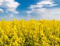 GM řepka tolerantní k herbicidům získala komerční povolení v Austrálii
