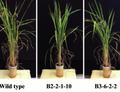 Rýže obohacená o lignin
