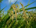 Zvýšení tolerance rýže vůči suchu