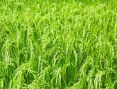 Transgenní rýže odolná k poléhání