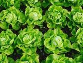 Hlávkový salát jako alternativa léků pro diabetiky
