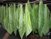 GM tabák jako producent amyláz odolávajících vysokým teplotám