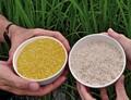 Rýže železná a zlatá?
